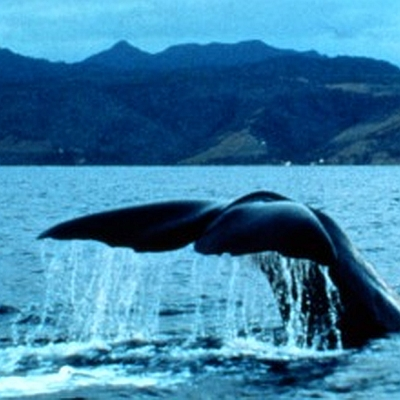 Dominica Whale Watching