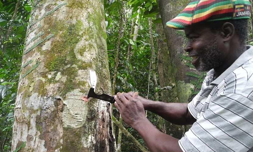 Tapper Cutting Tree